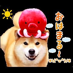 【公式スタンプ】柴犬まる スタンプ